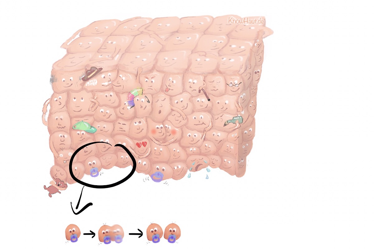 Mitose basale Keratnozyten