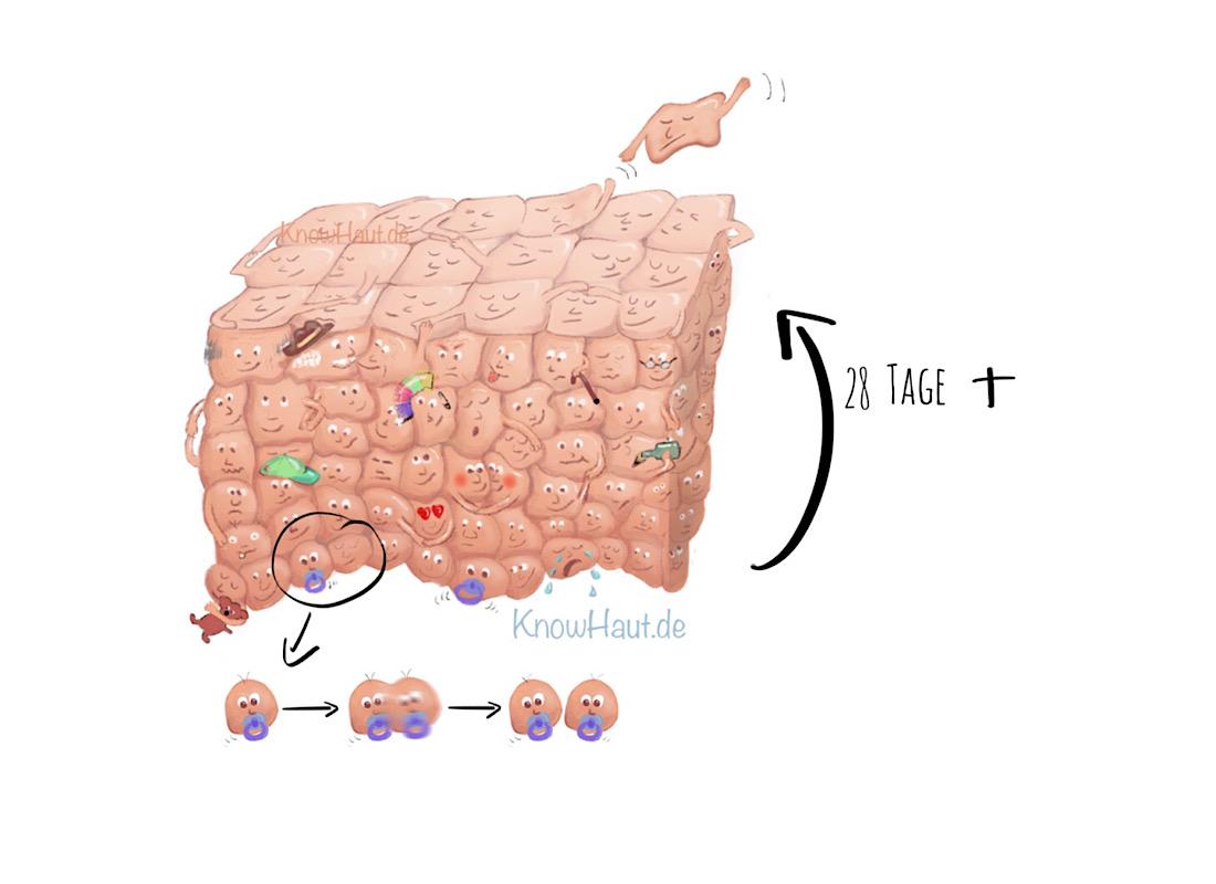 NL10 normaler Zellzyklus